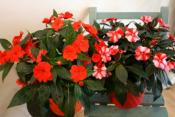 Impatiens rouge avec son cache-pot en zinc